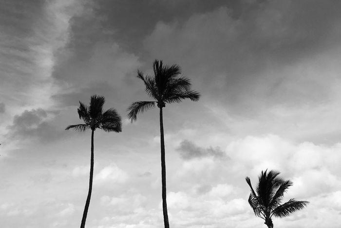 Palm Trees Honalulu, Hawaii