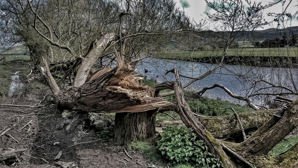 TwistedWood Snap TreePorn Tree Trunk Snapped Splinters Of Reality Tree Of Life Tree_collection  By The River Snapped Trunk Broken Beauty Willow Willow Tree Willow Trees Tree Porn Dead Tree Tree Trunk, Tree, Fallen Tree Snapped Like A Twig