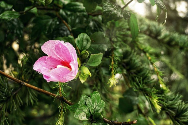 Pink Color Flower Plant Nature No People Growth Day Outdoors Beauty In Nature Leaf Fragility Green Color Freshness Close-up Tree Flower Head