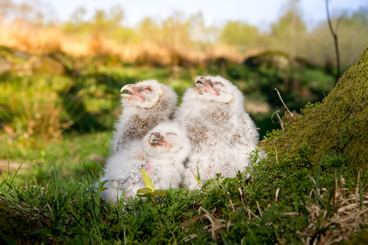 Close-Up Of Young Birds On Grassy Field