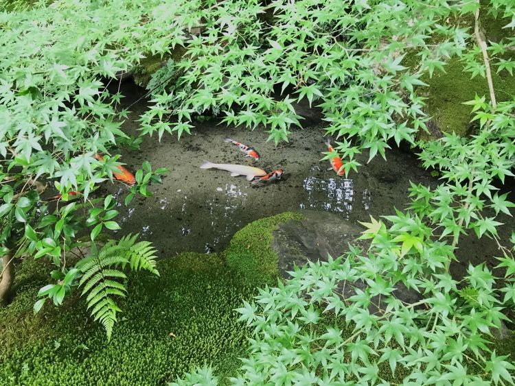 High Angle View Animals In The Wild Animal Themes Water Leaf Plant Green Color Day Nature Growth Animal Wildlife Outdoors No People Large Group Of Animals Bird Swimming Japan Photography Japan Green Color Green Leaves Green Beautiful View Beautiful Nature Beautiful Eye4photography