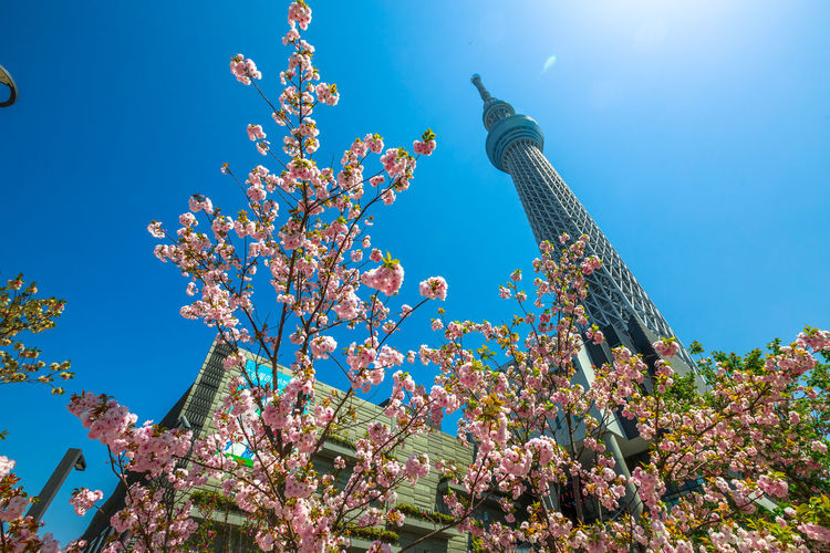 Tokyo Skytree with cherry blossoms in full bloom in Sumida District, Tokyo, Japan. Tokyo Skytree is the tallest tower in the world, broadcasting and observation tower. Asakusa,tokyo,japan Cherry Cherry Blossom Cityscape Hanami Sakura  Japan Japanese  Observatory SkyTree Tower Skyline Skytree Tokyo Tokyo Tokyo,Japan Top Tree Aerial View Animal Architecture Asakusa Beauty In Nature Blossom Blue Building Exterior Built Structure Cherry Blossom Day Flower Flowering Plant Fragility Freshness Growth Hanami Low Angle View Nature No People Outdoors People Plant Sky Skytree Springtime Sumida Tower Tree