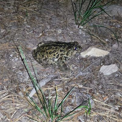 These guys were everywhere last night! Gianttoads Lakeview Oregon Cottonwood