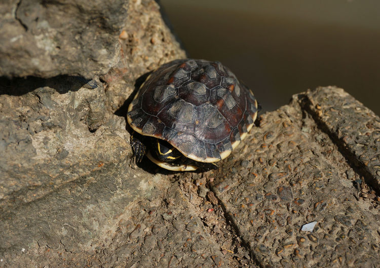 A small turtle basking on land at the edge of the pool. Amphibian Animal Aquatic Lake Land Life Myrtle Nature Neck Leg Outdoor Park Pool Relax Reptile Reptilian Rest Slow Small Stone Sun Sunbath Sunshine Tortoise Turtle Warm Water Wet Close-up