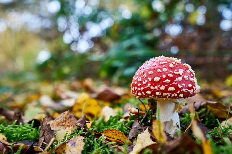Fly Agaric Toadstool in Autumn Autumn Autumn Colors Autumn Leaves Beauty In Nature Bokeh Brown Close-up Day Fly Agaric Mushroom Fungus Green Mushroom Nature No People Outdoors Red Toadstool Undergrowth