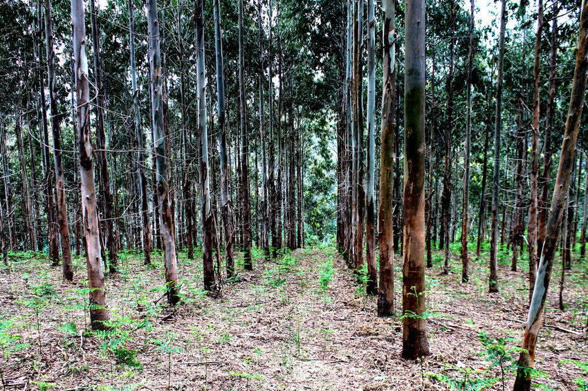 Eucalyptus Forest Forest Nature Photography Nature_collection Nature_perfection Tree Area Tree Trunk Treescollection Landscape_Collection Landscape_photography landscape Nature photography Landscape Photography Land