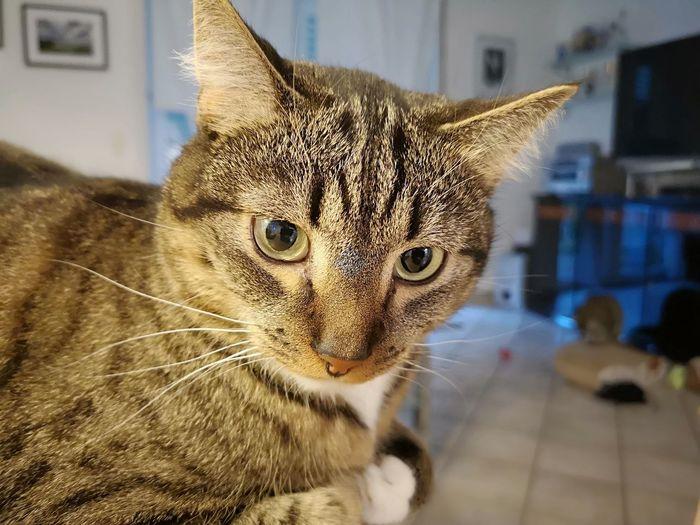 Joschi Pets Portrait Domestic Cat Leopard Feline City Whisker Close-up Architecture Tabby Cat Yellow Eyes HEAD