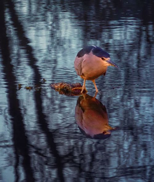 Staying afloat Pond Reflection Water Reflections Bird EyeEm Birds EyeEm Nature Lover Heron Fishing Pond Life Bird Photography