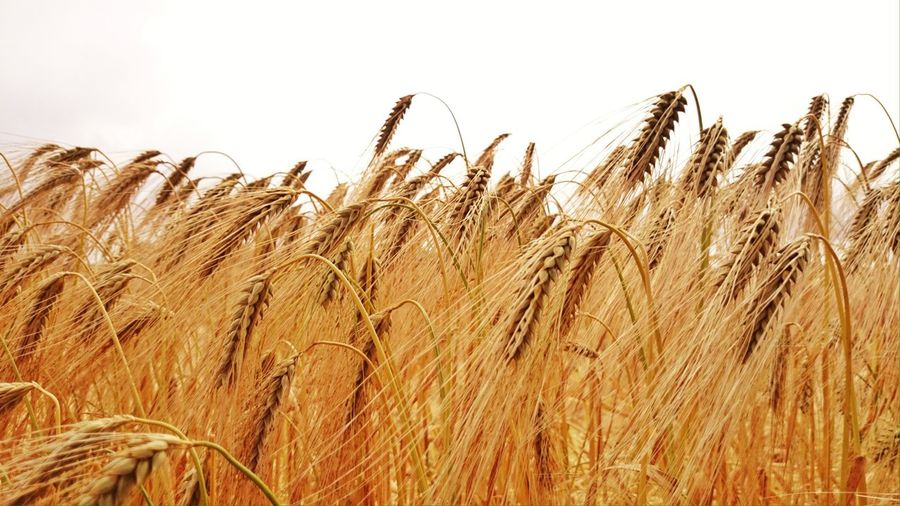Crops Field Simplicity Landlust Agriculture Farming White Background Close-up