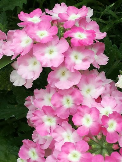 Fleur rose annuelle verveine