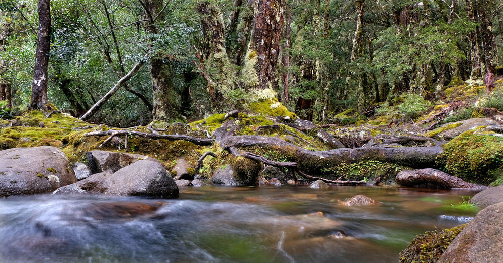 Tasmania Australia Nothofagus Mossy Rock Moss Cradle Mountain - Lake St Clair National Park Lake St Clair Mount Rufus Water Forest Tree Plant Rock Beauty In Nature Tranquility Flowing Water Scenics - Nature Stream - Flowing Water Outdoors WoodLand Rock - Object No People World Heritage