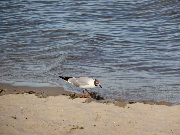 Beach Sand Bird Water Animals In The Wild Animal Wildlife Sea Nature Animal Themes One Animal No People Outdoors Seagull Day Wave Beauty In Nature Sea Life Seemöwe Nordsee North Sea Strand
