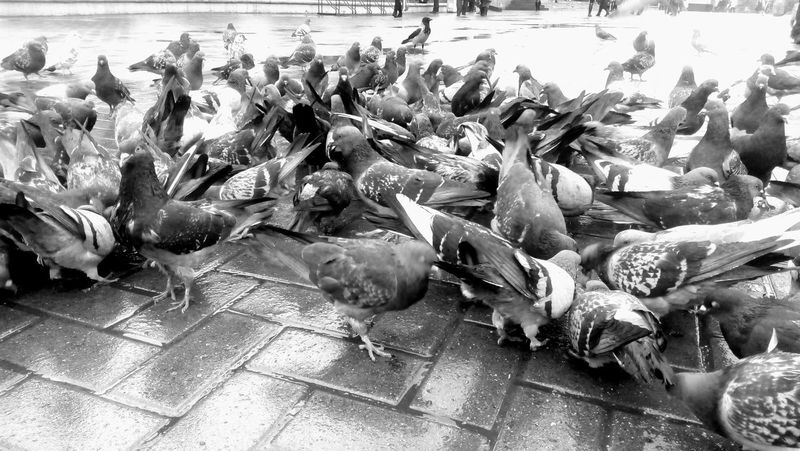 Pigeons On The Road A Lot Of Pigeons Pigeonslife Pigeons Pigeons Everywhere Animal Themes The City Light Large Group Of Animals Close-up No People Togetherness Large Group Of Animals City Outdoors Nature Bird Blackandwhite Photography Blackandwhitephotography Mobilephotography Black & White
