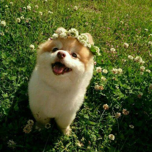 ころん(≧∇≦*) Pomeranian Cute Pomeranian I Love My Dog