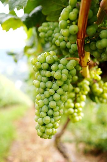 Tasty wine incoming Hanging Fruit Grapes Mosel Europe Europe Trip Germany Winery Winemaking White Wine <3 Green Color Food And Drink Fruit Growth Healthy Eating Food Plant Vineyard Grape Close-up Focus On Foreground No People Freshness Agriculture Vine Day Nature Tree Wellbeing