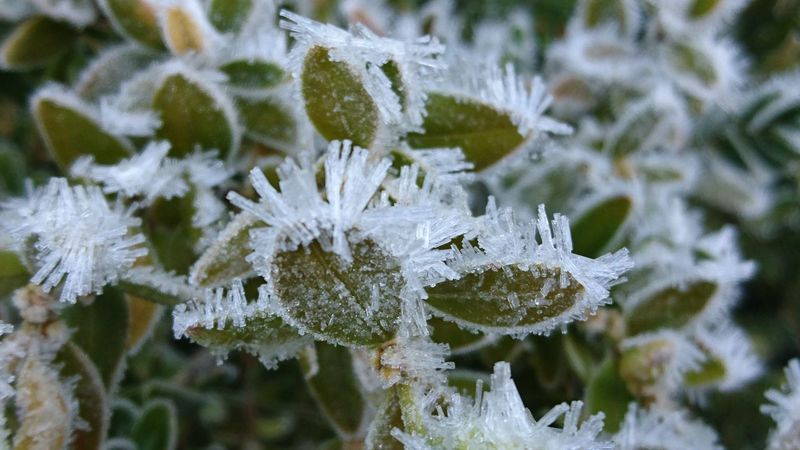 Nature Cold Temperature Winter Beauty In Nature Snow Frozen Growth Fragility Plant Ice Day Outdoors Tranquility Winter_collection Scenics Freshness Leafes Leaves 🍁 Leaves_collection Leaves🌿 Leaves And Branches