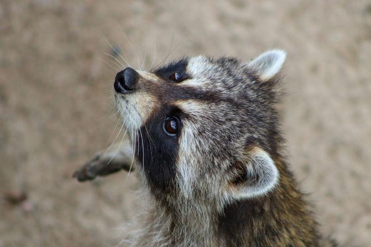 Raccoon....