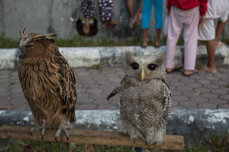 owl Vertebrate