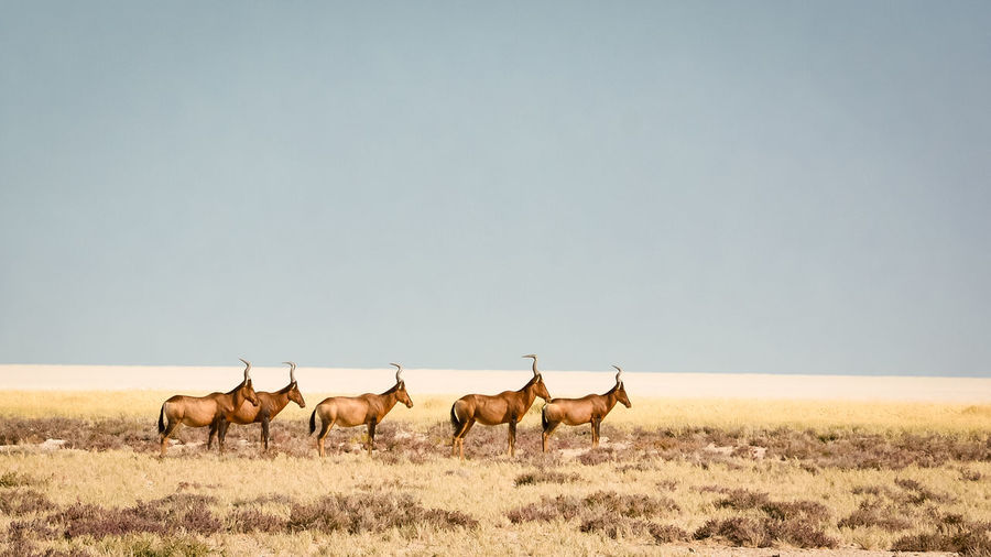 Side view of antelopes standing on field against clear sky
