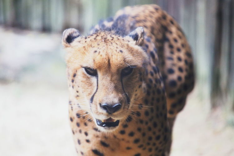 A New Perspective On Life Holiday Moments Animal Themes Animal Animal Wildlife One Animal Mammal Animals In The Wild Big Cat Spotted Close-up No People Focus On Foreground Feline Cheetah Portrait Day Vertebrate Looking Cat Nature Animal Head  Whisker