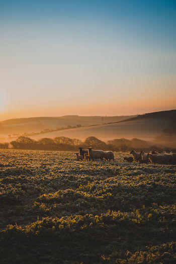Sky Landscape Environment Scenics - Nature Beauty In Nature Tranquil Scene Sunset Nature Mammal Land No People Livestock Field Tranquility Animal Themes Animal Copy Space Domestic Animals Group Of Animals Non-urban Scene Outdoors