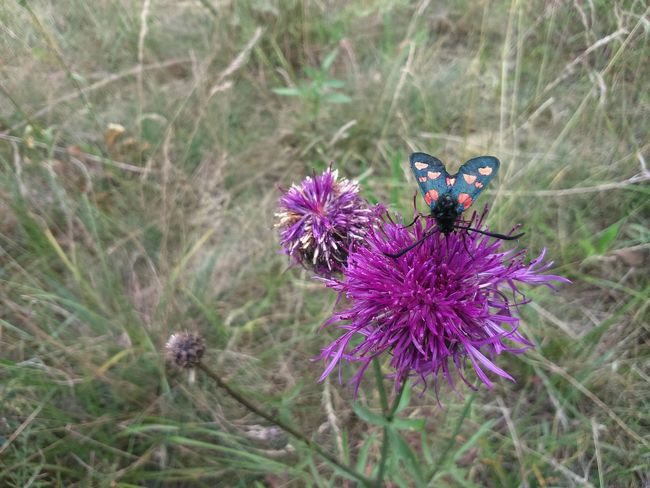 Flower Purple One Animal Insect Animals In The Wild Animal Themes Nature No People Animal Wildlife Day Butterfly - Insect Plant Fragility Beauty In Nature Outdoors Focus On Foreground Flower Head Pollination Freshness Full Frame The Purist (no Edit, No Filter) Grass