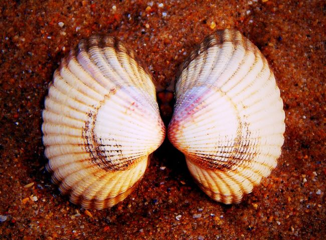 Beauty In Nature Beauty In Nature Close-up Gower Gower Coast Gower Peninsular South Wales Gowercoast Gowerpeninsula Linked On The Beach Oxwich Oxwichbay Shell Beach Shell Collection Shell Photography Shells Shells🐚 Two Is Better Than One Two Of A Kind Wales Wales UK Walesonline EyeEm Best Shots - Nature EyeEm Nature Lover EyeEmBestPics