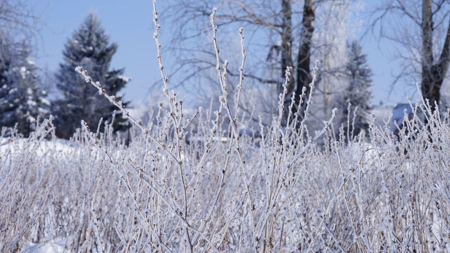 Frozen bushes in snow Suzdal Plant Winter Snow Cold Temperature Tree Nature Growth Focus On Foreground Tranquility No People Frozen Day Ice Grass