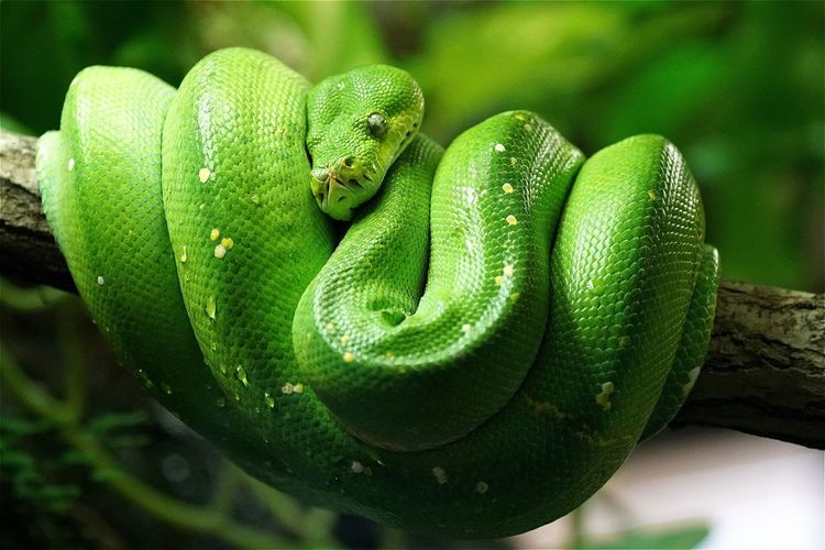 Close-up of green tree python curled on branch