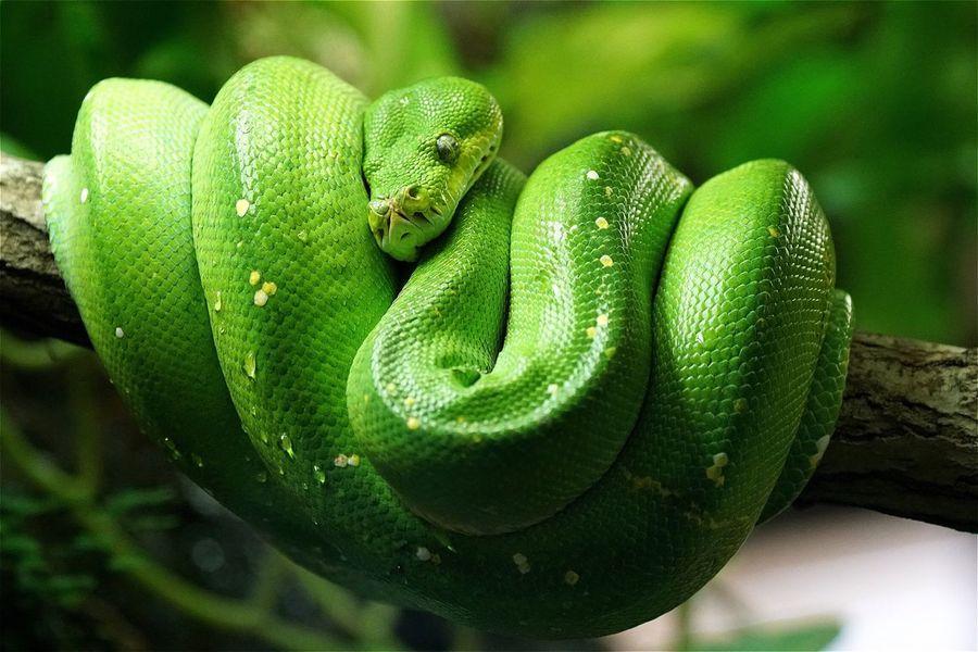 Baumpython Python Schlange  Animals Animal Animal Themes OpenEdit EyeEm Best Edits Snake AMPt_community Eye4photography  Close-up Open Edit Green Tadaa Community No People Showcase June Colour Of Life Pet Portraits