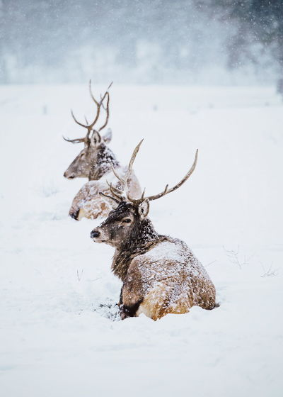 Reindeers on snow covered land during winter