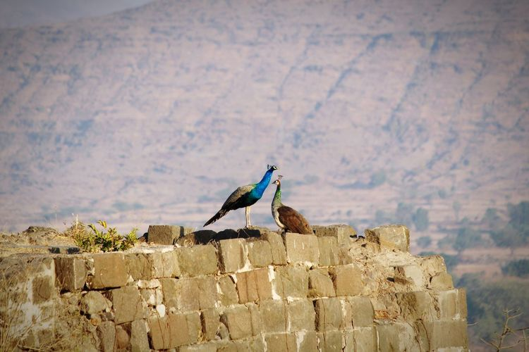 Peacock couple at the top