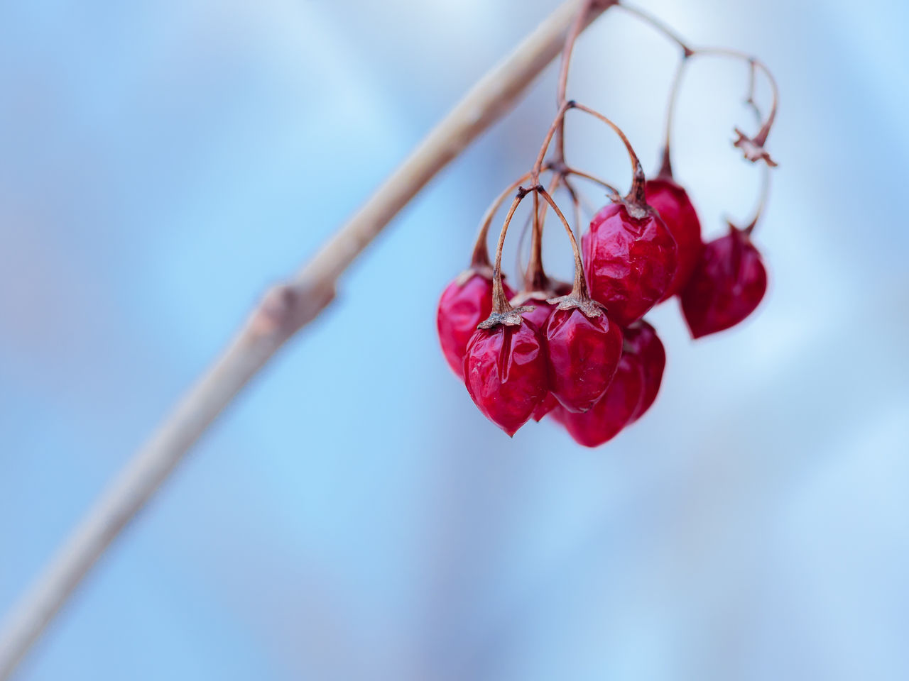 Close-Up Of Red Berries Hanging From Branch Against Sky