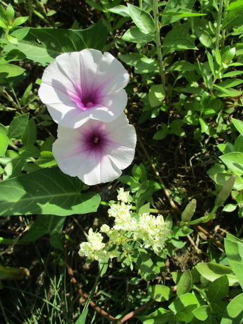 flower collection Beauty In Nature Blooming Close-up Day Flower Flower Head Fragility Freshness Green Color Growth Leaf Nature No People Outdoors Periwinkle Petal Petunia Plant Purple ผักบุ้ง