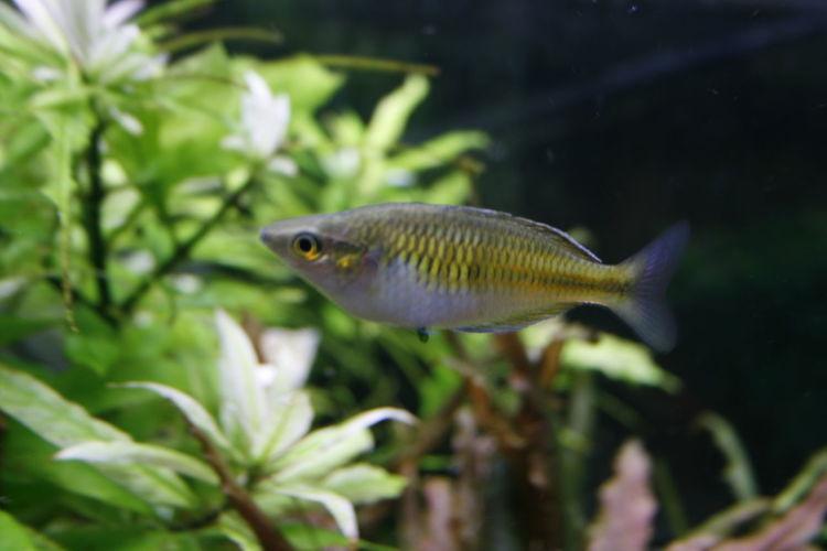 Regenbogenfisch Aquarium Life Fisch Fish Fishing One Animal Sea Life Water