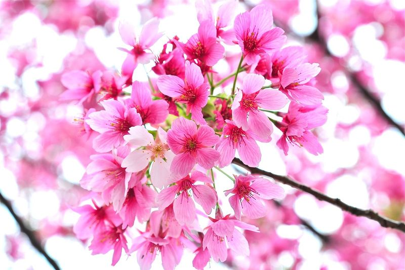 Beauty In Nature Blossom Branch Bunch Of Flowers Cherry Blossom Cherry Tree Close-up Day Flower Flower Head Flowering Plant Fragility Freshness Growth Inflorescence Nature No People Outdoors Petal Pink Color Plant Pollen Springtime Tree Vulnerability