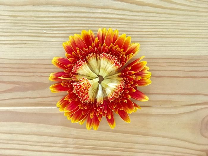 blossoming flower head. Bloom Blooming Blooming Flower Blossom Blossoming  Close-up Daylight Directly Above Flower Flower Head Indoor Indoor Photography Indoor Plants Indoors  No People Orange Orange Color Red Table Wood Wood - Material Wooden Yellow Yellow Color Yellow Flower