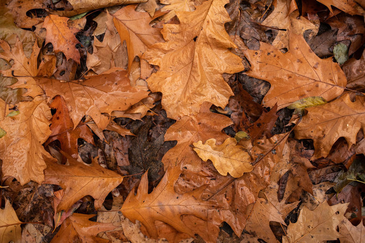 Autumn Leaf Plant Part Change Leaves Full Frame Dry Backgrounds Nature Brown No People Close-up Day Falling High Angle View Vulnerability  Natural Pattern Land Directly Above Fragility Maple Leaf Outdoors Natural Condition Autumn Collection