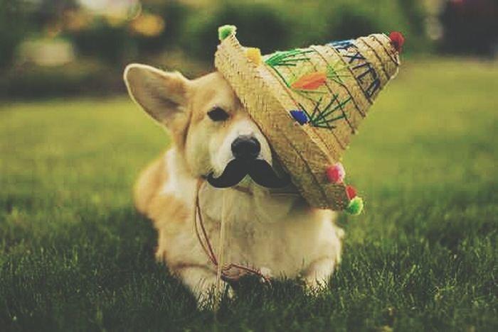 Feliz Cinco de Mayo! Cinco De Mayo Corgi Cinco De Drinko