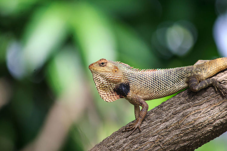 Lizard Animal Animal Head  Animal Scale Animal Themes Animal Wildlife Animals In The Wild Bearded Dragon Branch Close-up Day Focus On Foreground Lizard Nature No People One Animal Outdoors Reptile Side View Tree Vertebrate Wood - Material