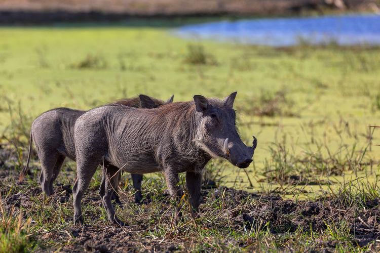Warthogs on grass