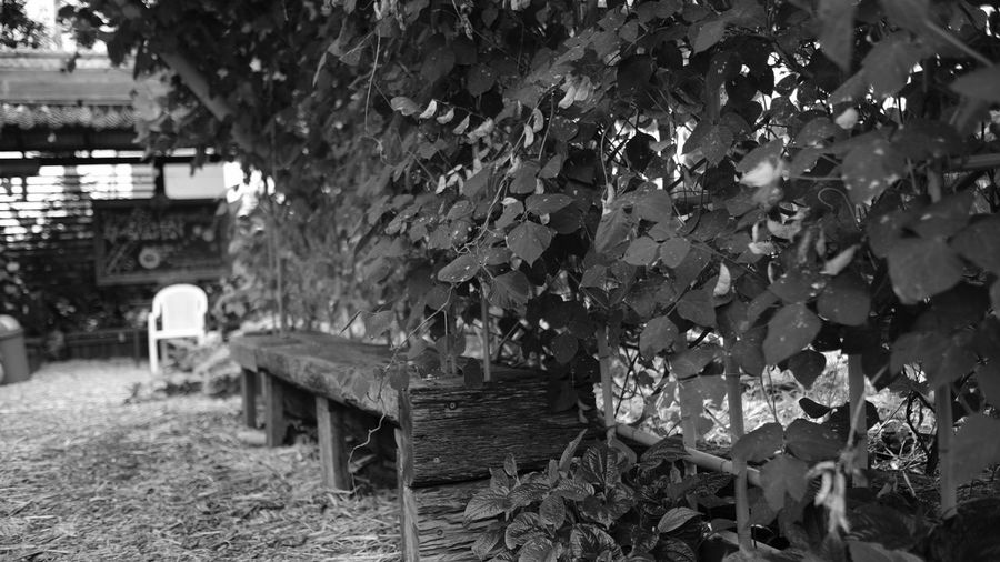 Beauty In Nature Black & White Black And White Blackandwhite Brisbane Built Structure Community Garden Day Fujifilm Garden Growth Monochrome Monochrome Photography Nature No People Outdoors Plant Tree Vines Vines On Wall