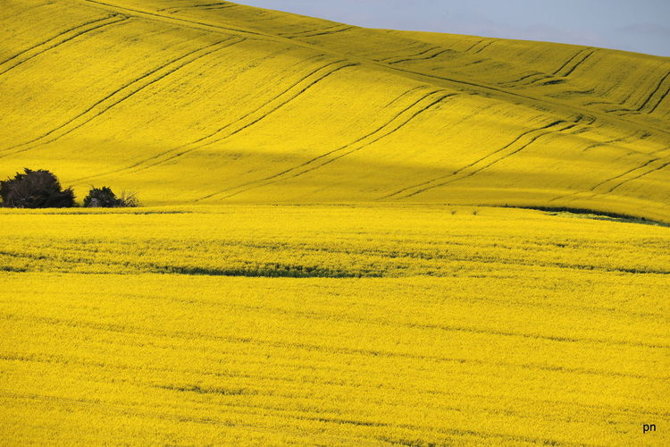 Agriculture Beauty In Nature Canola Field Cultivated Land Day Farm Growth Happy Colors Horizon Over Land Landscape Majestic Nature No People Non-urban Scene Outdoors Remote Rural Scene Scenics Tranquil Scene Tranquility Travel Destinations Vibrant Color Yellow Yellow Color