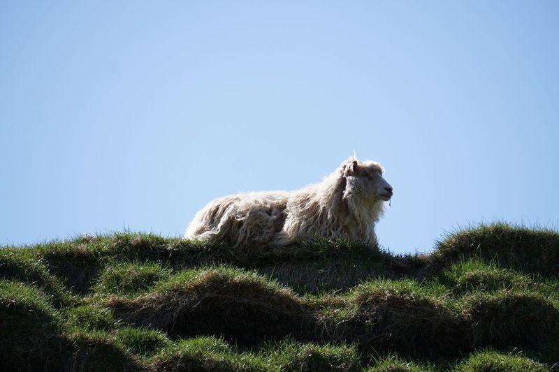 Sheep Hanging Out Cheese! Enjoying Life Faroe Islands Faroe Färöer Mykines Green Color Natures Diversities The Great Outdoors - 2016 EyeEm Awards