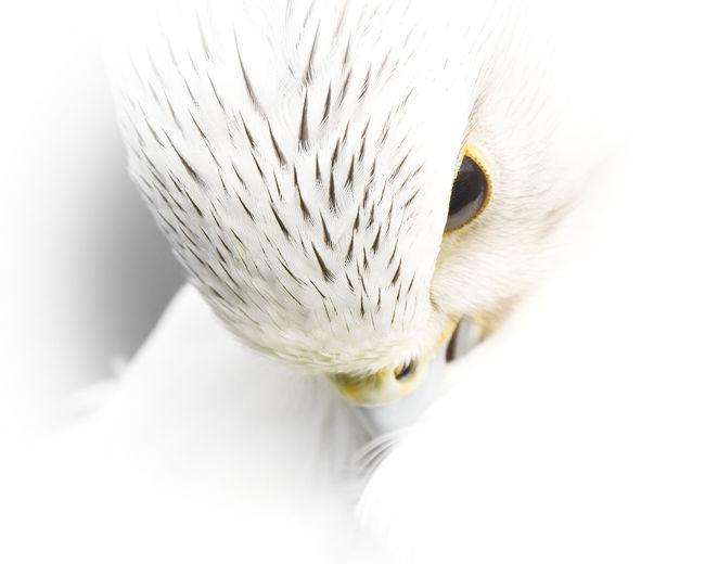 EyeEm EyeEm Best Edits EyeEm Best Shots EyeEm Best Shots - Nature EyeEm Nature Lover EyeEm Selects EyeEm Gallery EyeEmBestPics Falcon Hawk Animal Animal Body Part Animal Eye Animal Head  Animal Themes Animal Wildlife Animals In The Wild Bird Close-up Cute Eye4photography  Looking Profile View Vertebrate White Color