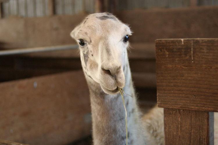 Llama Farm Creatures Wildlife Photography Nature_collection