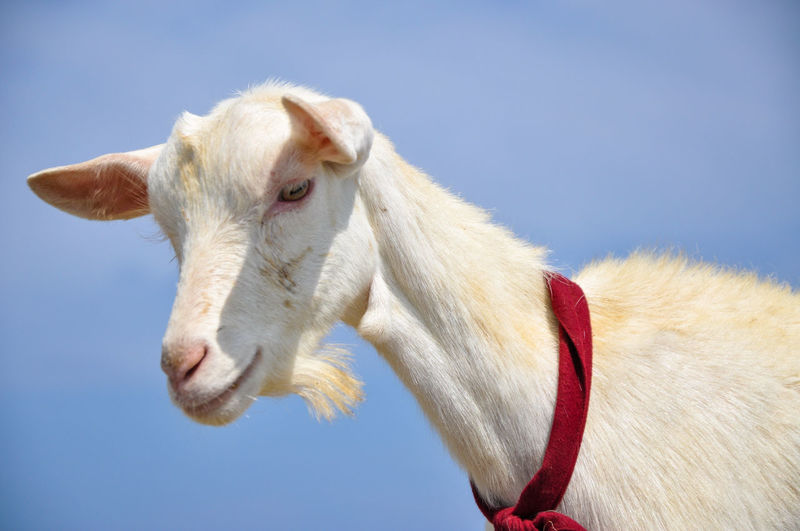 Close-up of goat against blue sky