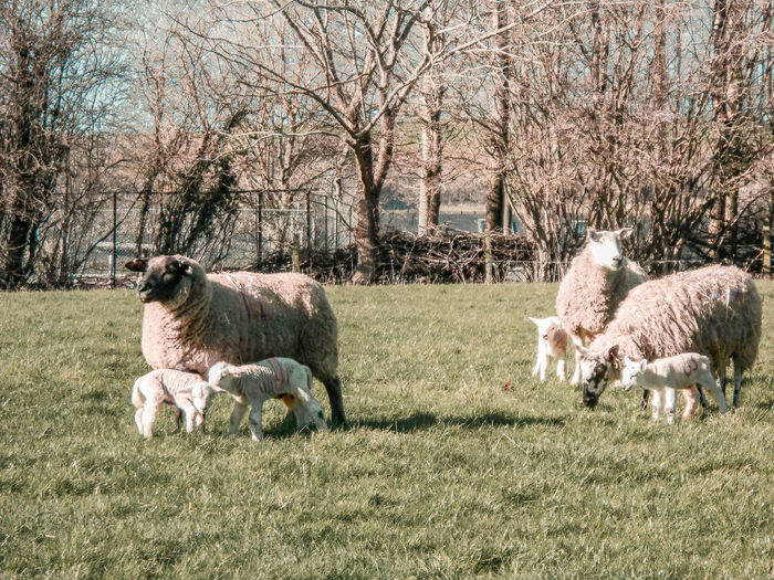 wooly sheep families Farm Wales UK Springtime Lambs Lambs And Sheep Sunny Grass Low Sun Tree Livestock Sheep Lamb Domestic Pasture Rural Flock Of Sheep Growing Grazing Herbivorous Infant