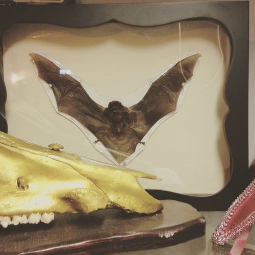 Taxidermy Bat Taxidermy Art Taxidermy Bat Animal Art Studio Porn Blood N Gold Art Studio Howler Studio Not designed by me.. My wifey put this together for me to have in my studio and I love it.