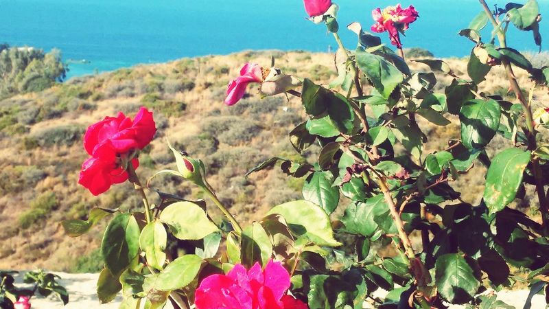 Roses Flowers  Sea Background Village Life Freshness Nature Beauty In Nature Plant No People Calming Place Flower Love